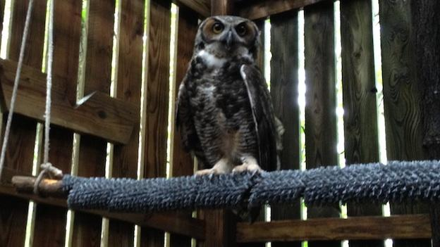 A Great Horned Owl named Papa G'Ho has been living at the Wildlife Center of Virginia for the past 12 years.
