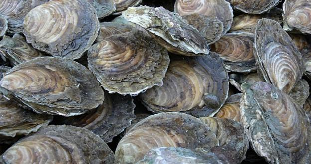 Under the program, one billion oyster shells will be returned to public oyster grounds.