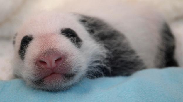 The female panda cub has gained some of the species' distinctive black and white markings.