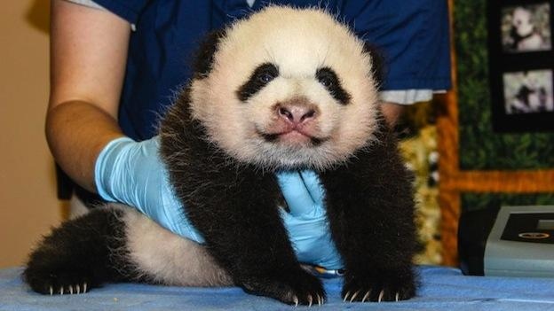 The giant panda cub now weighs 9.68 pounds and measures 18.11 inches.