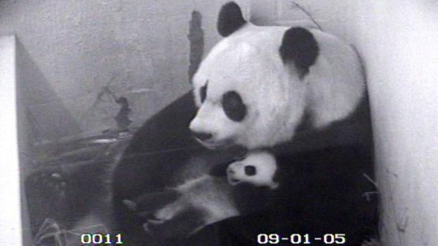 The National Zoo's Panda Cam was a popular way to catch a glimpse of Mei Xiang and Tai Shan, who was born in 2005.