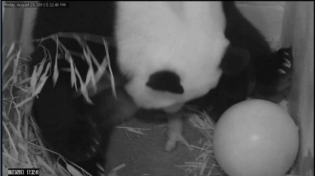 The National Zoo's giant panda Mei Xiang gave birth to a cub Friday evening. On Saturday, she gave birth to the cub's twin, but it was stillborn.