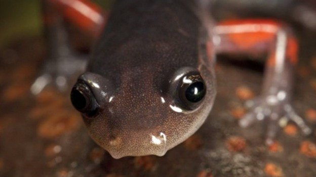 The Appalachian region is home to more salamander species than anywhere else in the world, making it a true hotspot for salamander biodiversity.