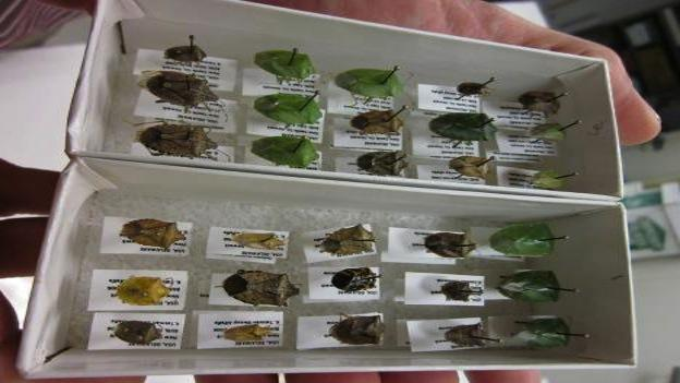 There are between 250 and 300 species of stink bug in the U.S., and some of them are very helpful as predators of agricultural pests.