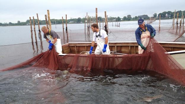 Robert T. Brown (right) hauls his pound net out of the water with the help of his crew.