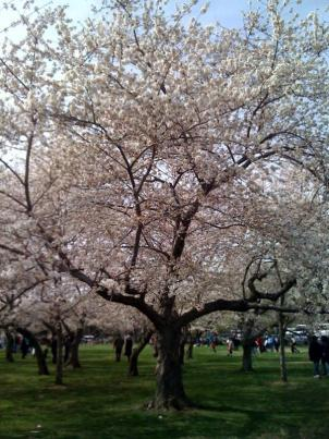 Bees are an integral part of healthy flowers, including cherry blossoms.