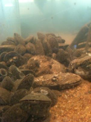 Oysters are a sign of bay health - they are only at 1 percent of historical levels. Oysters are threatened by disease, but also sediment pollution.