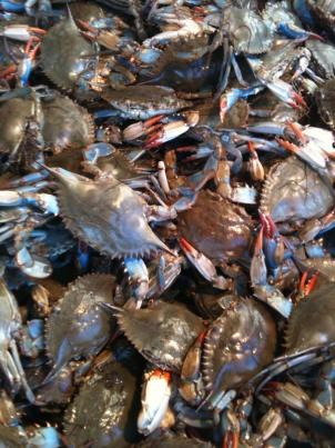 An annual dredging survey shows the Blue Crab may be recovering in the Chesapeake bay.