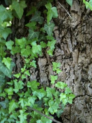English Ivy can be nice when under control, but it can escape into the wild, smothering trees and native plants.