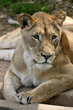 The National Zoo says 6-year-old Nababiep gave birth to a lion cub early Tuesday morning.