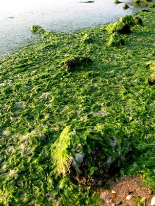 A University of Maryland study found that increased algae growth causes higher acidity levels during its life cycle in the Chesapeake Bay, inhibiting the formation of young oyster shelves.
