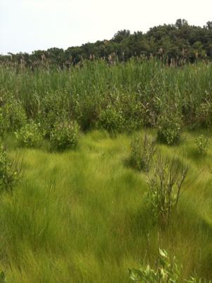The salt marsh of the future, also known as the Smithsonian Global Change Research Wetland.