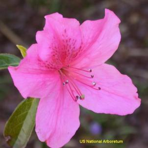 The azalea collection at the National Arboretum is getting a $1 million boost from an anonymous donor.