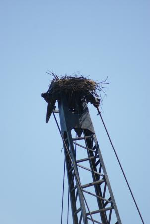 Osprey need large, sturdy structures to build their nests - which can span 5 feet and weigh hundreds of pounds. This construction crane is perfect - for the Osprey.