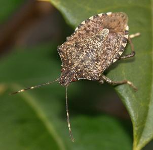 "The brown marmorated stink bug. ""Marmorated"" means marbled."