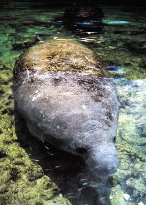 The National Aquarium says the manatee rescued from the bay in the mid-1990s as cold weather approached was sighted Tuesday in Calvert County marina harbor.