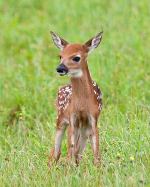 Rockville is looking for input from residents on how to address the city's swelling deer population.