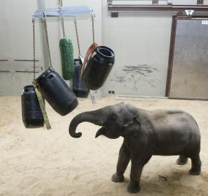 Daily exercises keep elephants' limbs loose and their minds sharp.