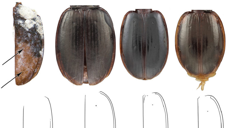 A New Species Of Ground Beetle Found In Antarctica Left Is Named Antarctotrechus Balli The Three Other Beetles Are Close Modern Relatives Ancient