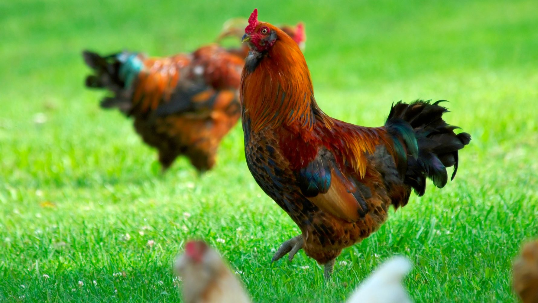 cluck cluck nope nope d c moves to ban backyard chickens wamu