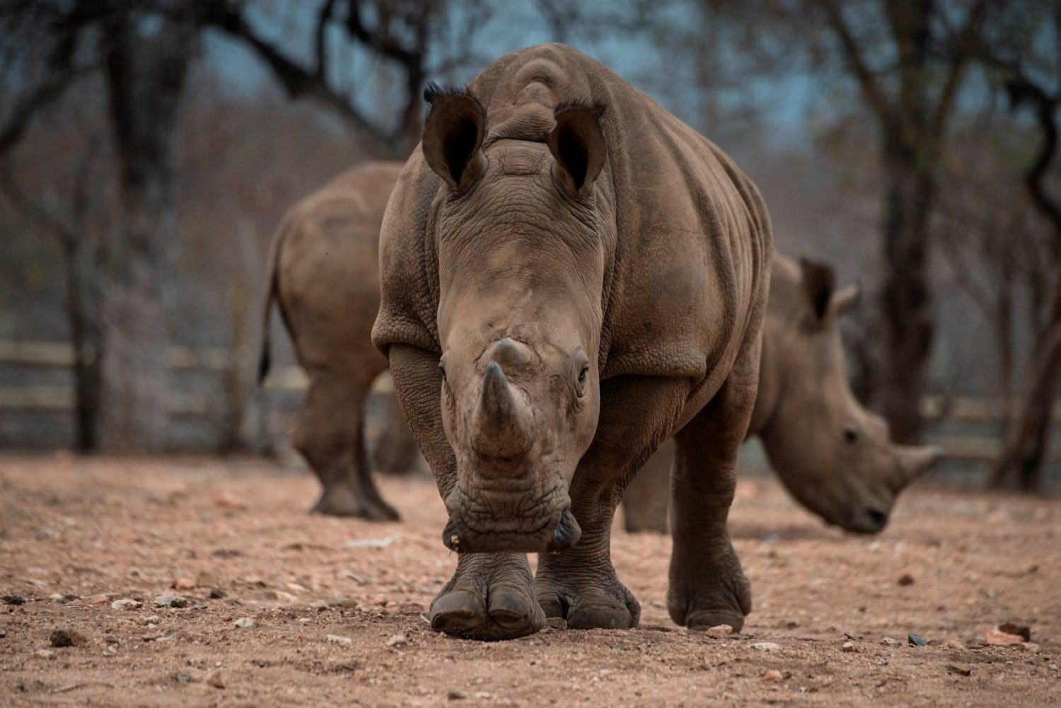 Once Illicit, Rhino Horn Sales Underway In South Africa | WAMU