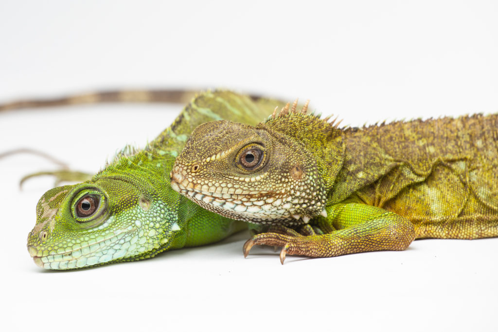 This Lady Lizard Doesn't Need A Man To Reproduce | WAMU